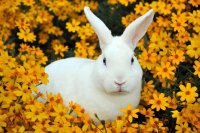 White Rabbit in a Flower Field
