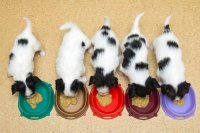 Little Puppies Papillon Eat
