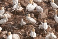 Gannets on a Nesting Island