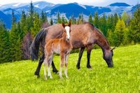 Young Foal and Mare on Meadow at Mountains