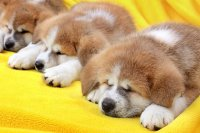 Young Puppies Sleeping