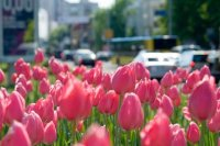 Red Tulips in the City