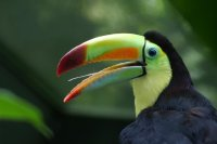 Profile of a Toucan