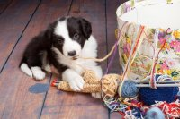 Puppy Playing with Yarn