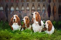 Group of Basset Hounds Sitting on the Grass