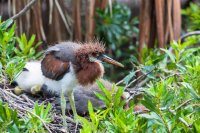 Fluffy Heron Chick