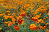 Safari Queen Marigolds