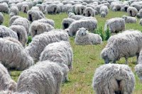 Flock of Sheep Grazing on Green Field