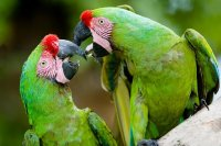 Pair of Military Macaws Playing