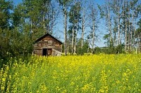 Old Wooden Granary on Edge of Canola Field