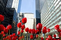 Red Tulips on Park Ave New York City, USA