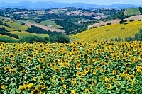 Summer Landscape with sunflowers, Marche, Italy