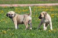 Young Kangal Dogs
