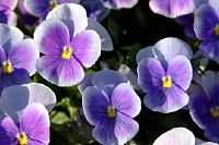 Bright Purple Pansy Flowers