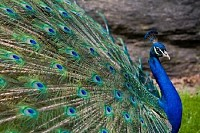 Beatiful Peacock
