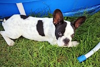French Bulldog Puppy in the Garden