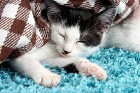 Sleeping Kitten on Blue Carpet