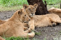 Two Lions Resting