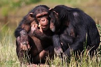 Chimpanzees Eating a Carrot