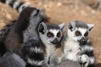 Pack of Lemurs
