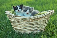 Basket of Tiny Kittens Outdoors