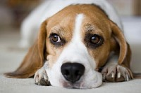 Beagle Looks Bored