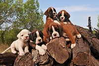 Five Boxer Puppies