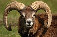 Mouflon with Horns
