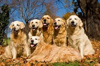 Golden Retrievers Group Photo