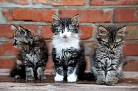 Three Kittens Against a Brick Wall