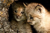 Two Baby Lynx in a Log