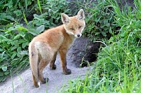 Red Fox at his Hole