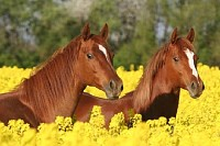 Two Sorrel Horses in the Colza Field