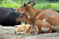 Banteng Mother