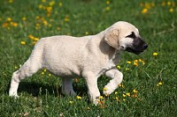 Young Kangal Dog Playing