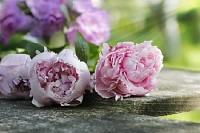 Peonies on Wooden Plank