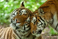 Tigers Family