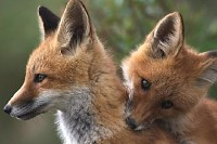 Two Young Red Foxes