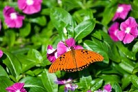 Butterfly Alights In Garden