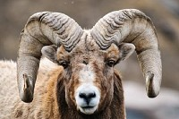 Rocky Mountain Big Horned Sheep