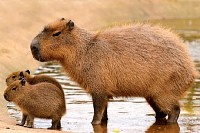 Three Capybaras