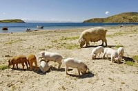 Pig With her Piglets on a Beach
