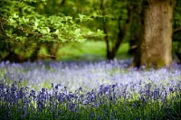Bluebells in Oak Wood
