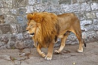 African Lion Walking Around