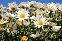 Daisies Blossom