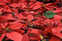 Poinsettia Flowers