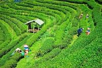 Tea Plantations Thailand
