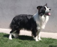 border collie 6