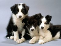 border collie 7