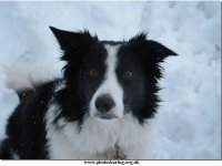 border collie 9